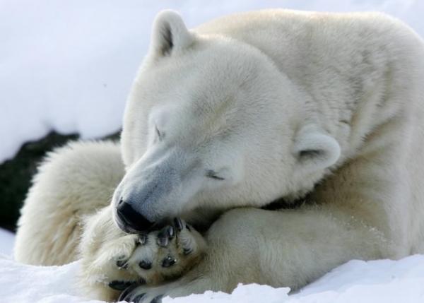 Международный день полярного (белого) медведя
