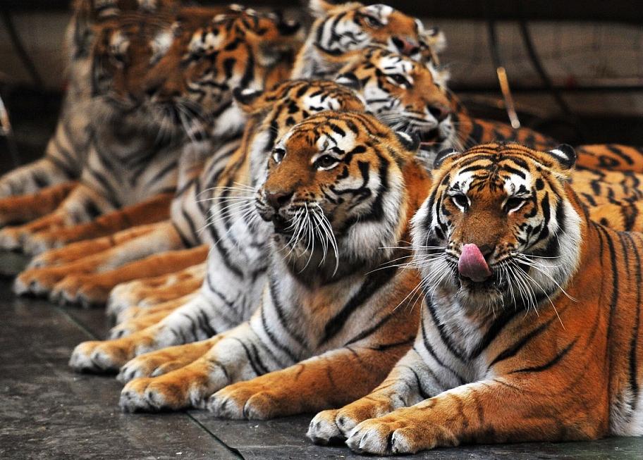 Цирковая программа Тигры Суматры