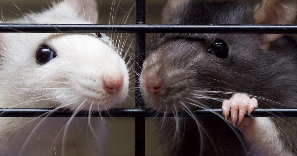 Лекция «Как живется лабораторным мышам?»