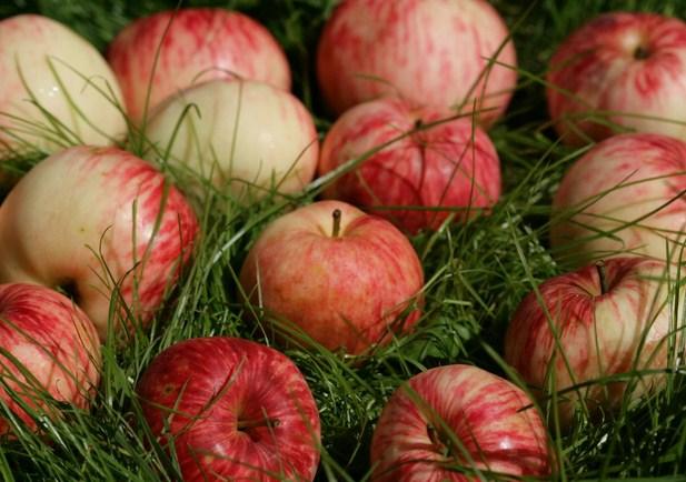 «яблочная» библиопрограмма с дегустацией свежих фруктов