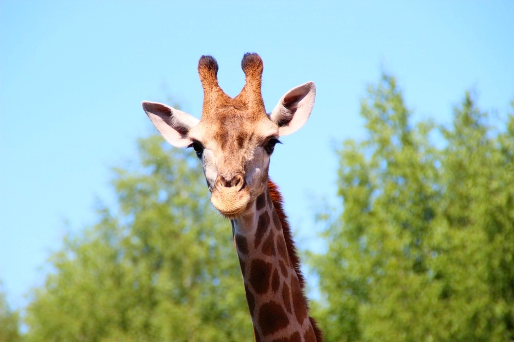 День рождения жирафа Радуги